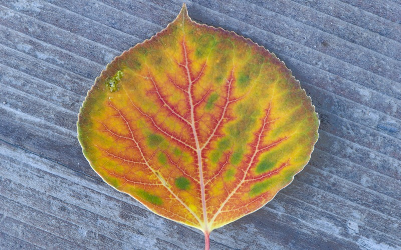 Fall_aspen_leaf_multiple_colors